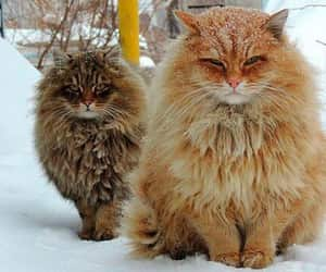 cats, russia, and snow image