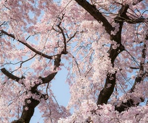 beautiful, pink, and cherry blossoms image