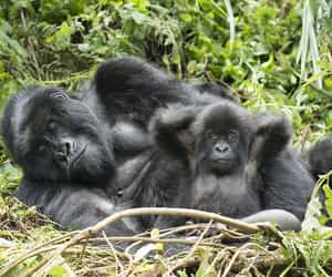 baby and gorilla image