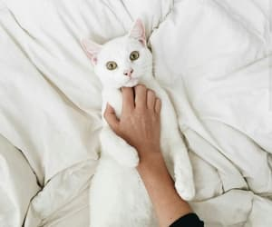 animals, white, and white cat image
