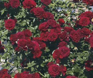 aesthetic, grunge, and roses image