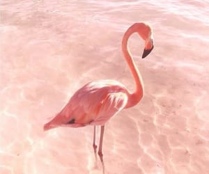flamingo, pink, and Caribbean image