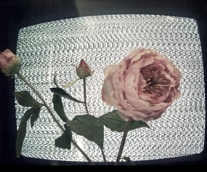 rose, flowers, and tv image