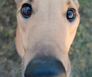 dogs, animals, and greyhound image