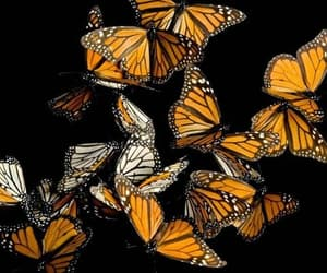butterfly and monarch butterflies image