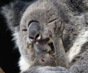 animals and koala bear image