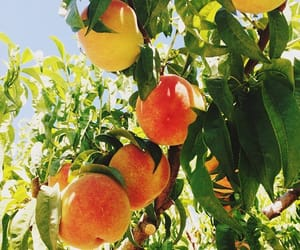 fruit, nature, and peach image