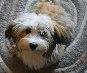 animals, havanese, and dogs image
