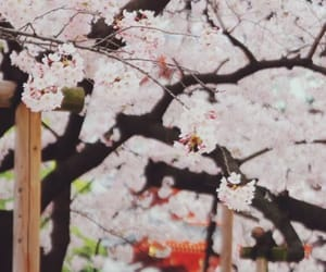 blossom, cherry, and blossoms image