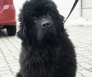 dog, puppy, and newfoundler image