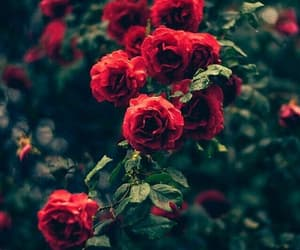 red, rose, and redroses image