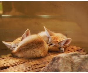 fox and fennec image