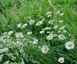 amore, daisy, and fiori image