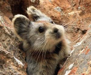 adorable, pika, and animal image