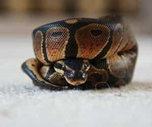 adorable, python, and reptile image