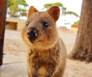 adorable, smile, and quokka image