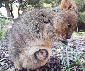 adorable, quokka, and animal image