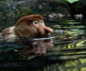 animal, monkey, and swimming image