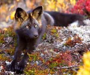 black fox, silver fox, and fox image