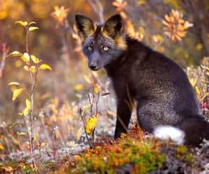 animal, black fox, and canine image