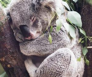 animal, sleep, and Koala image