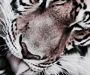 aesthetic, theme, and tiger image