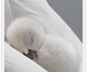 Swan, baby, and animal image