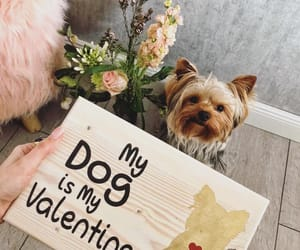 yorkie, dog love, and my dog is my valentine image