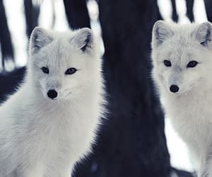 arctic fox and white fox image