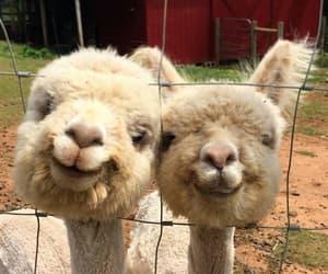 animals, cute, and alpaca image