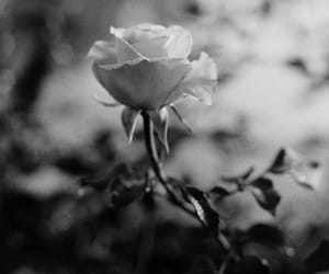 black, rose, and black and white image