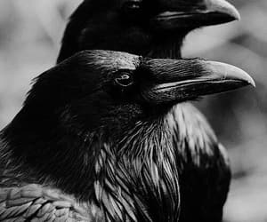 crow, raven, and black image