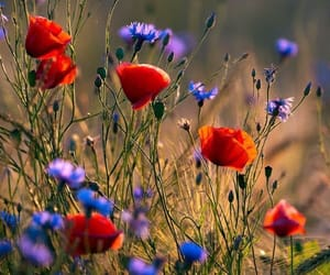 flowers, poppy, and blue image