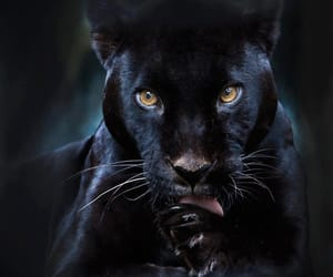 black, panther, and animal image