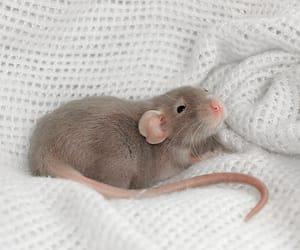 rat, animal, and photography image