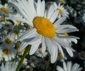 daisy, flowers, and flower image