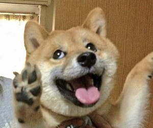 dog, shiba inu, and cute image