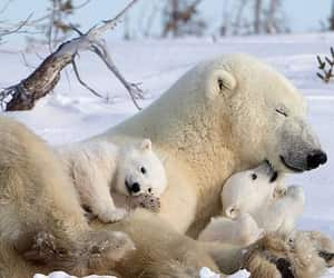 animal, nature, and Polar Bear image