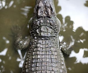 animal and crocodile image
