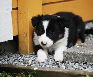 border collie and puppy image