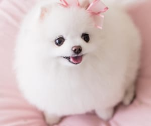 beautiful, lovely, and pomeranian image