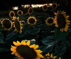 beautiful, lake, and sunflower image