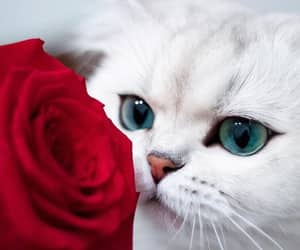 cat, red, and rose image