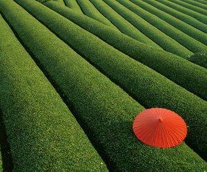 japan tea fields image