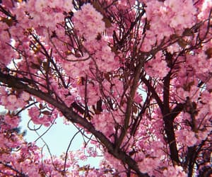 aesthetic, blossom, and cherry image