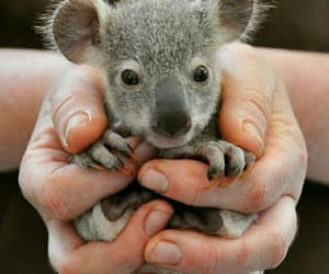 cute, Koala, and animal image