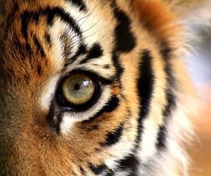 aesthetic, photography, and tigers image