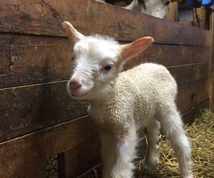 country, far, and lamb image