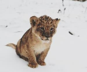 animal, feline, and wild cat image
