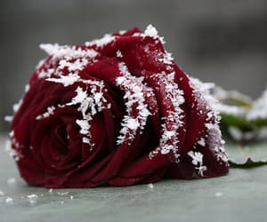 rose, snow, and flower image